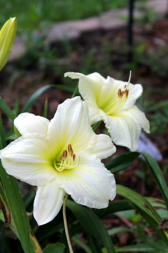 white day lily