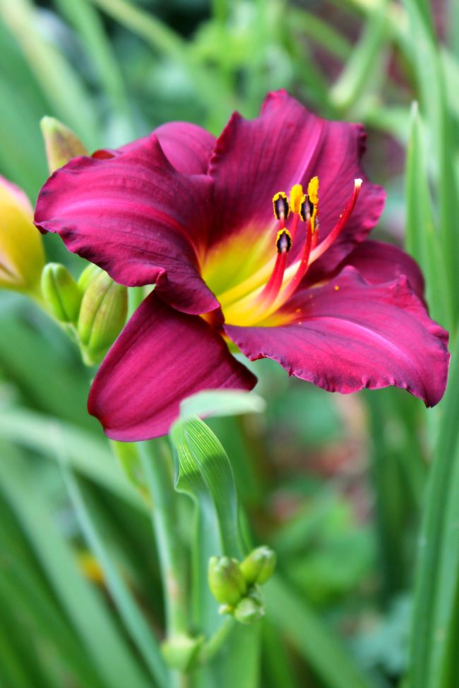 fuscia day lily
