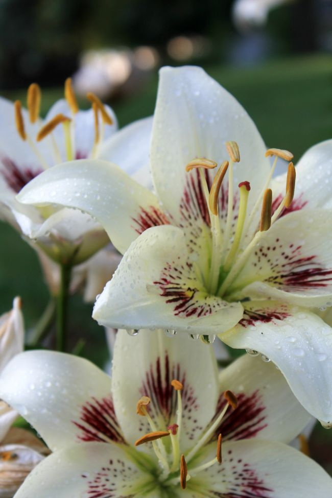 White and Purple Lily Centerfold