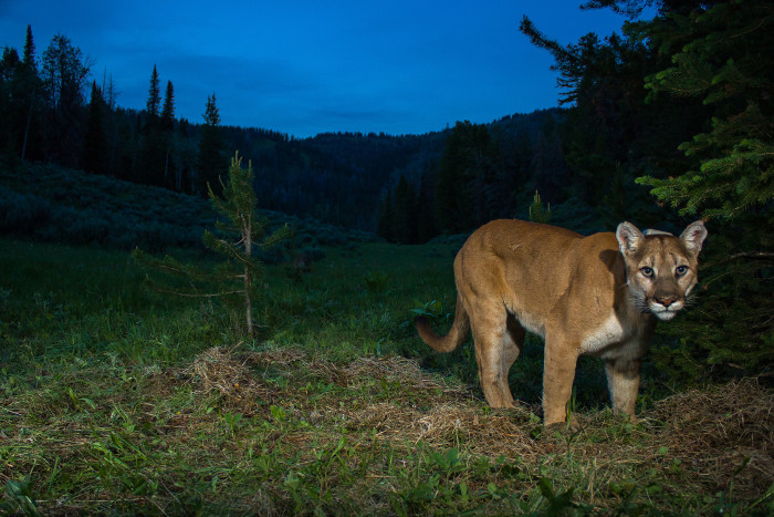 Mountain lion at night.??(photo credit: Neal Wight)