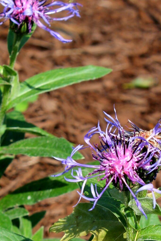 Montana Bachelor Button Centaurea