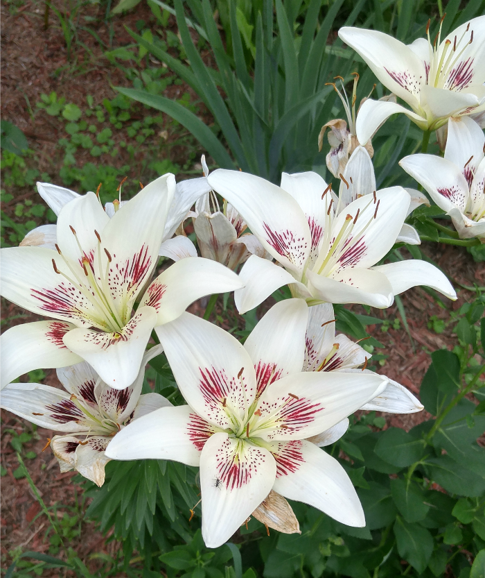 White & Purple Lily