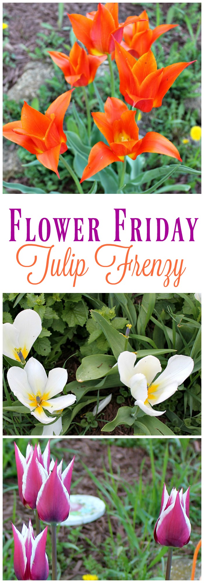 This week's Flower Friday edition features a frenzy of tulips in bold colors like purple, orange, yellow and white
