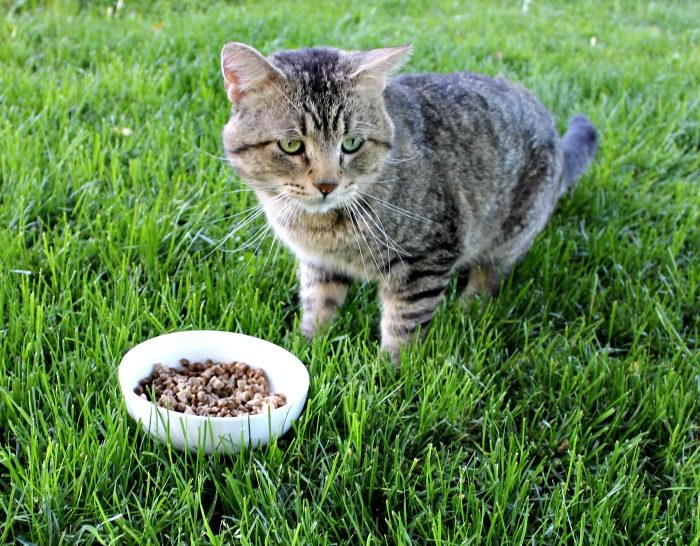 Healthy Diet for my Cat with Wellness