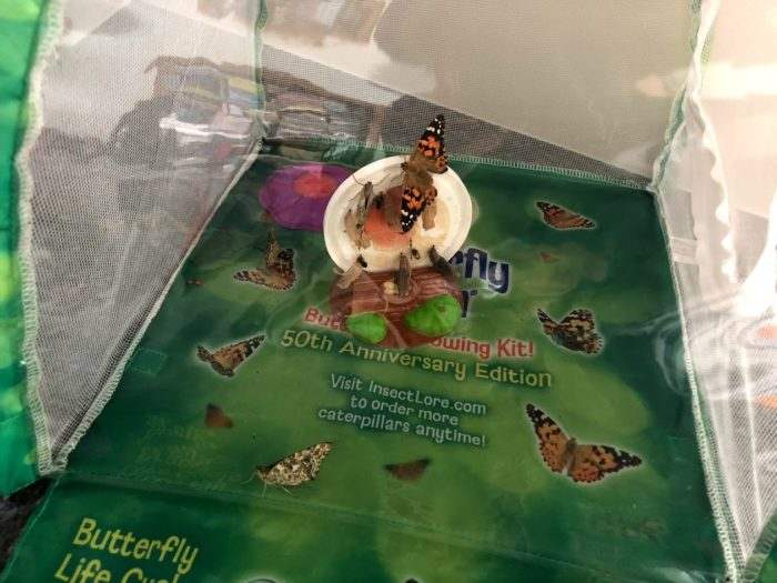 With The Insect Lore Butterfly Farm Watch Caterpillars Morph into Butterflies at Home!