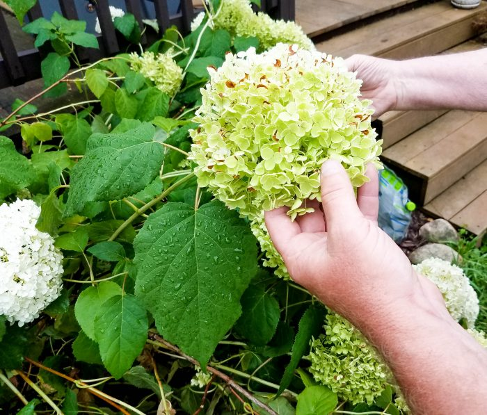 smelling the flowers - hydrangea